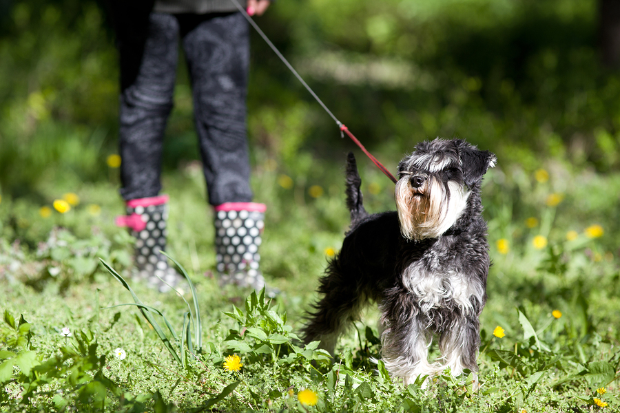 Cute miniature schnauzer on the leash posing on spring grass girl's legs in boots in background