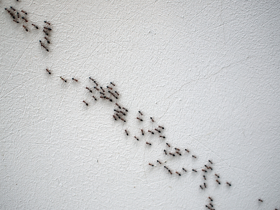 Group of ants following each other in a chain on a white wall on a diagonal image
